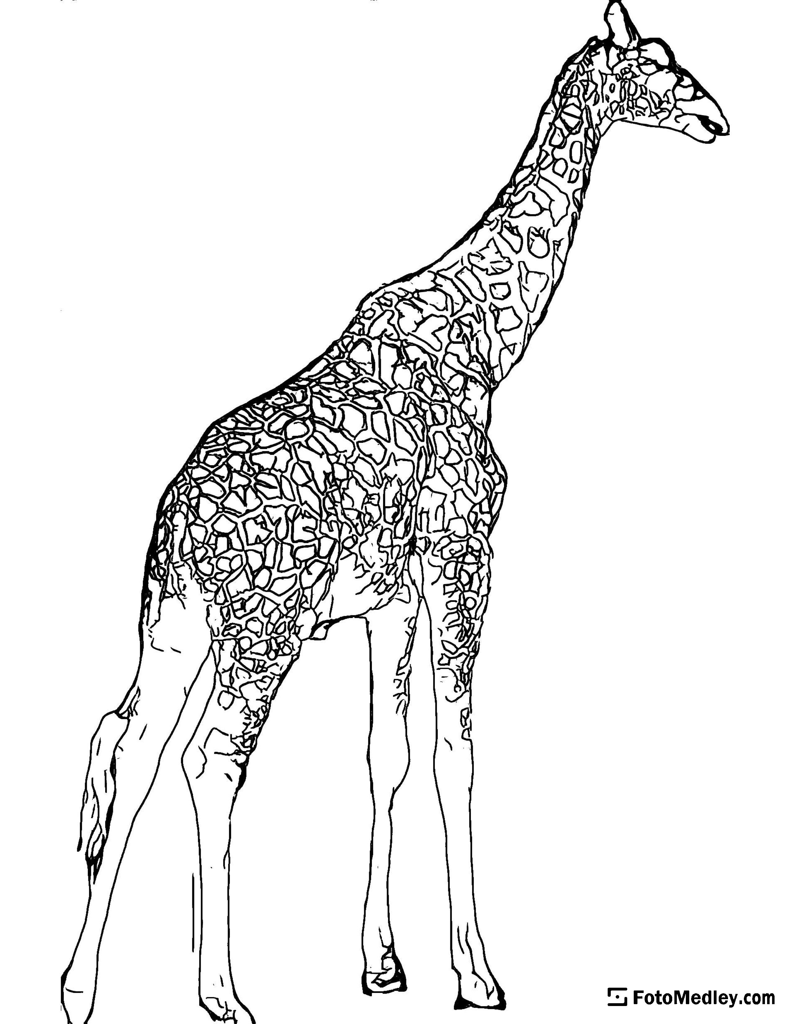 A coloring page of tall spotted giraffe.