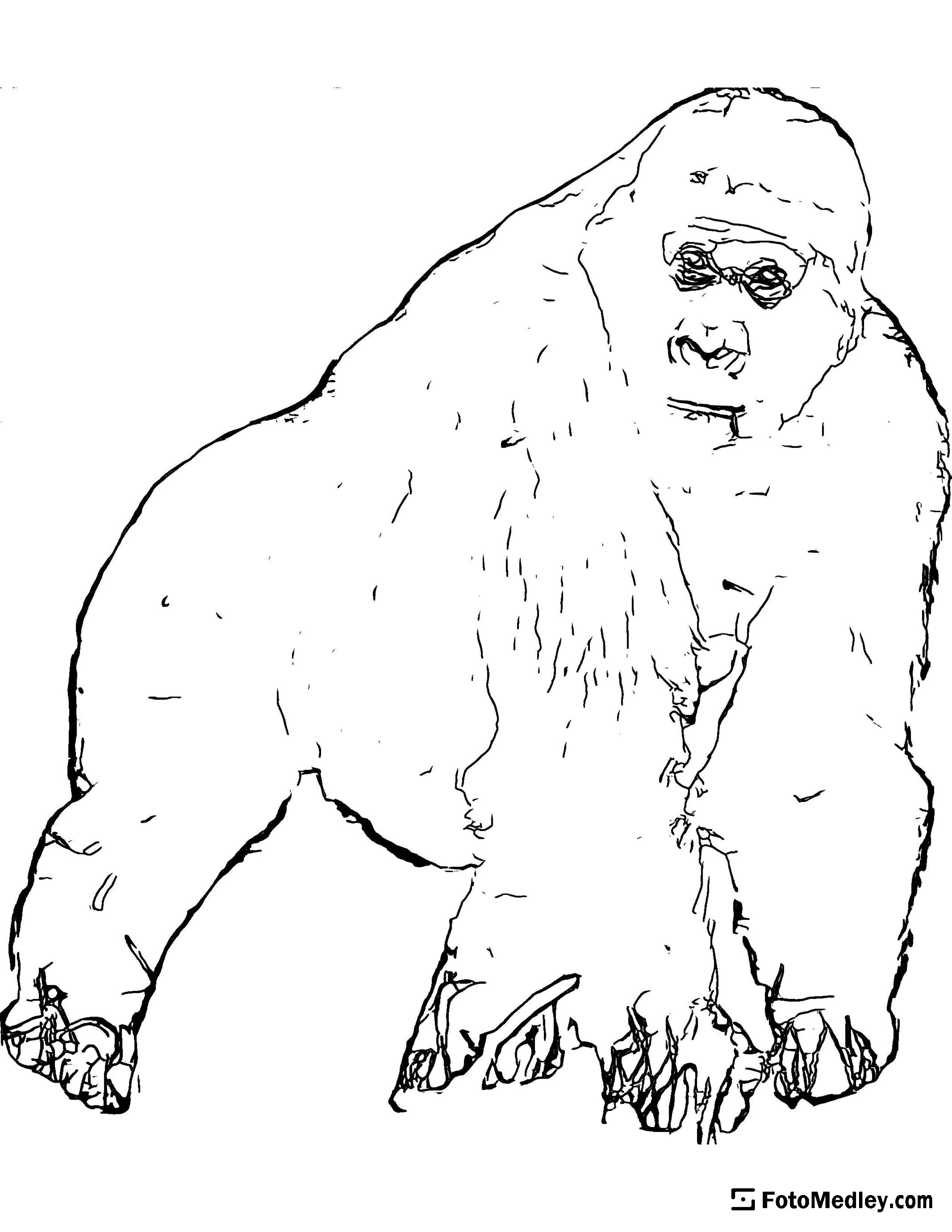 A coloring page showing gorilla walking on all fours.